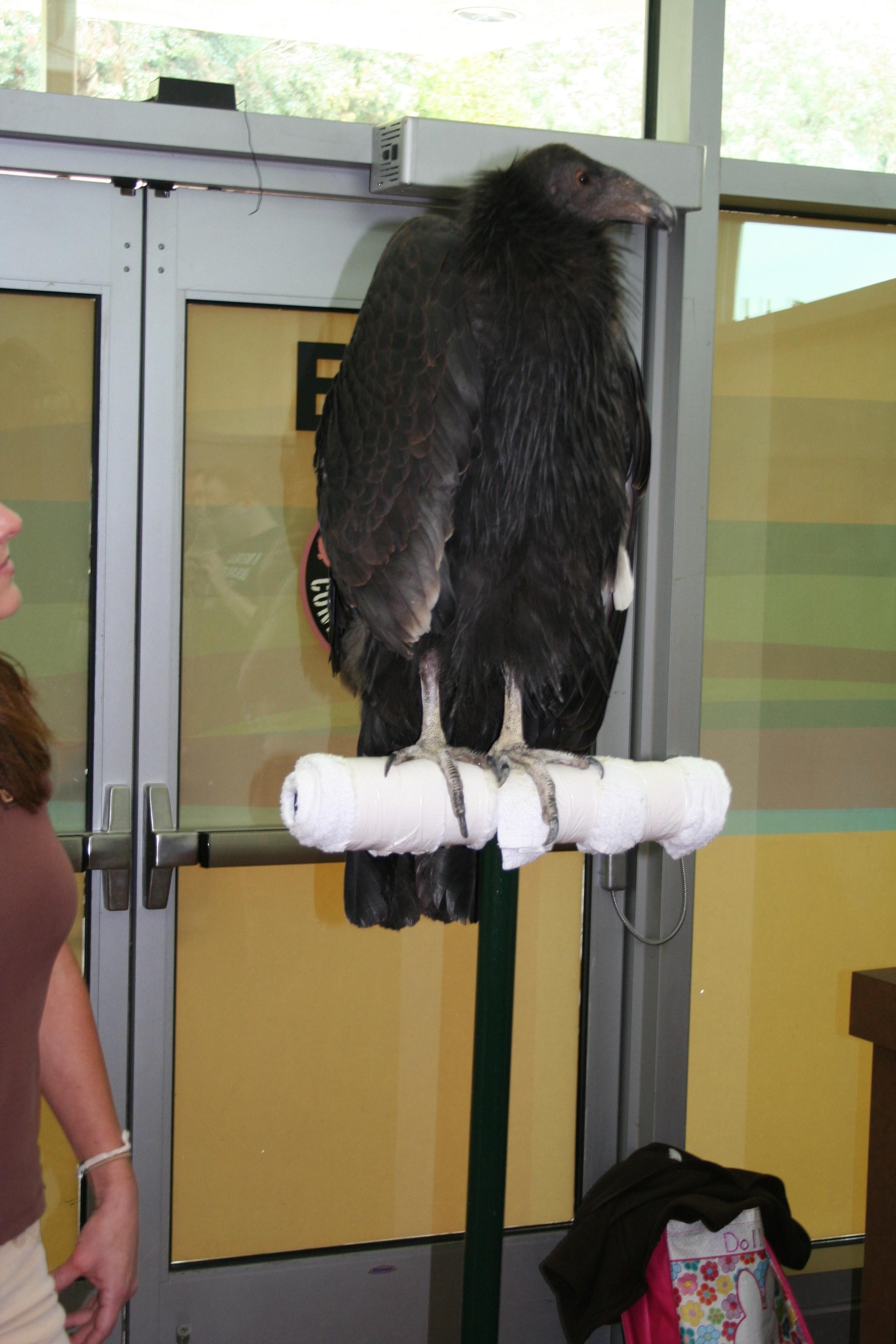 LA Zoo Condor