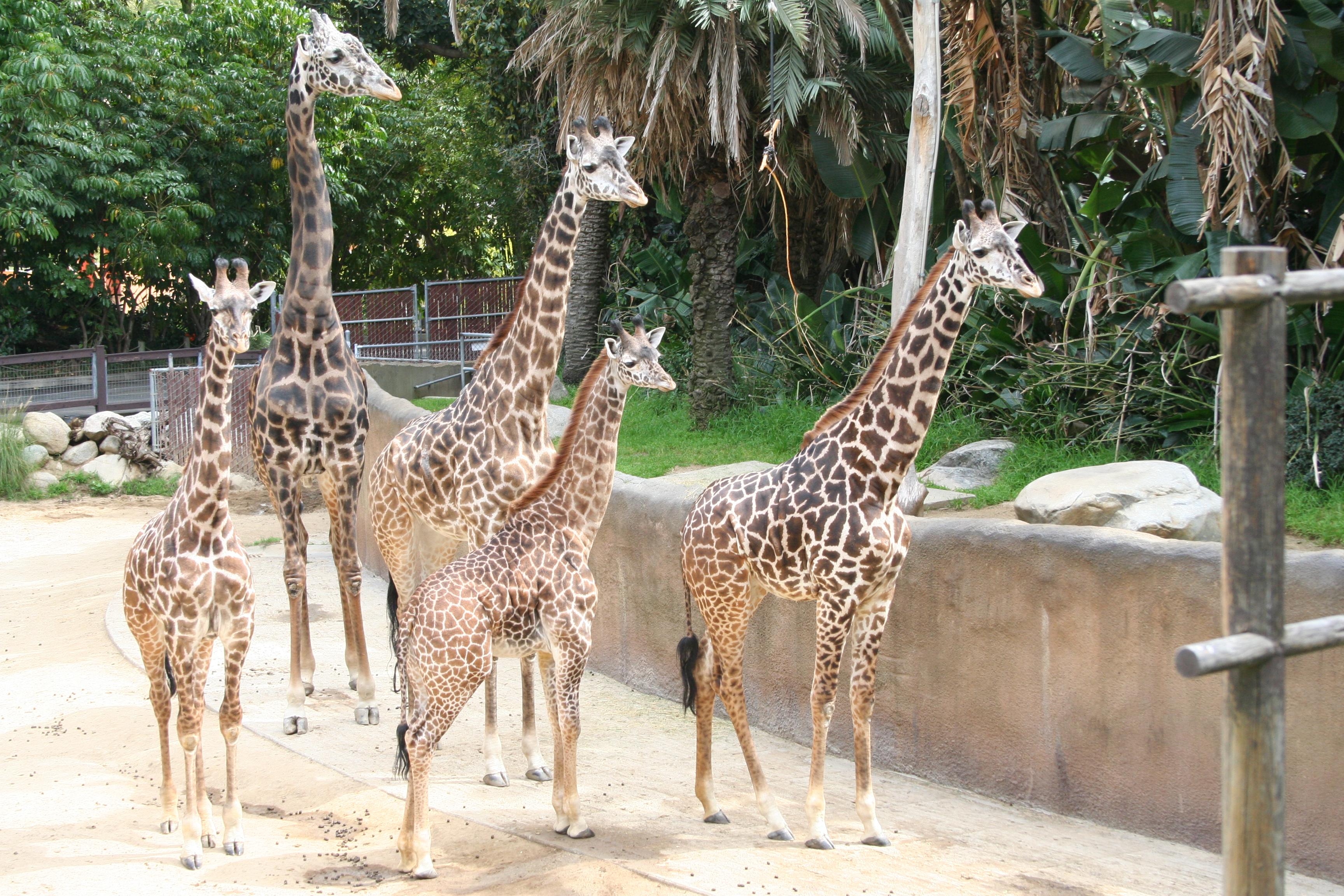 LAZoo-Giraffes