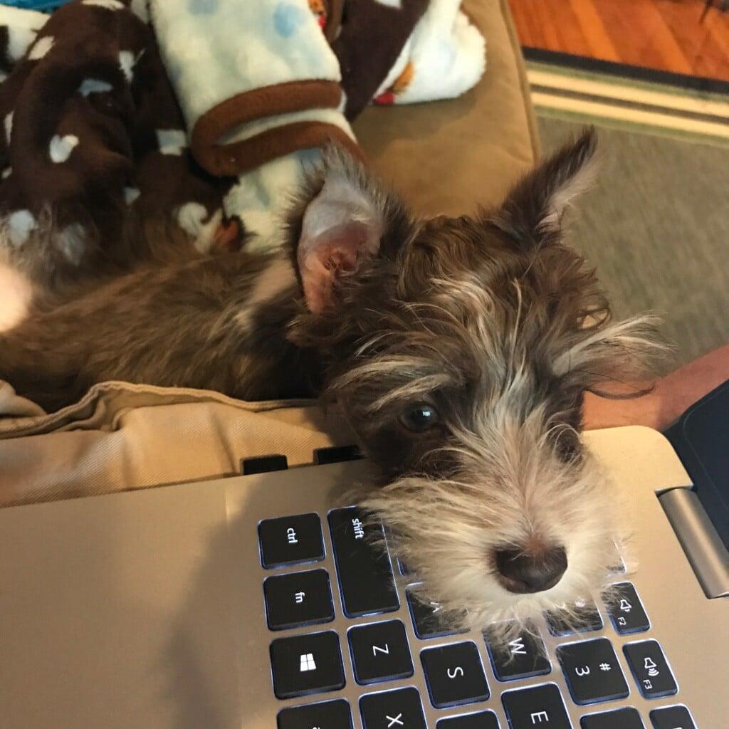 Puppy at work